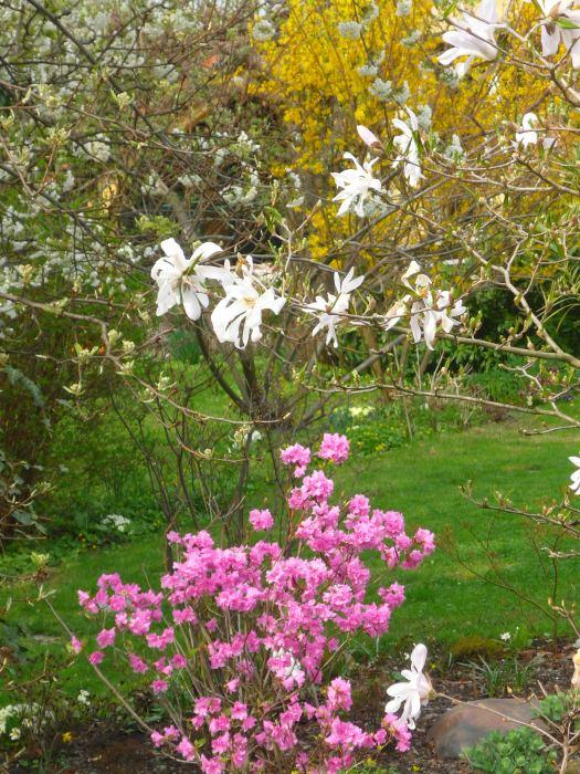 azaliaimagnoliakwiaty.jpg