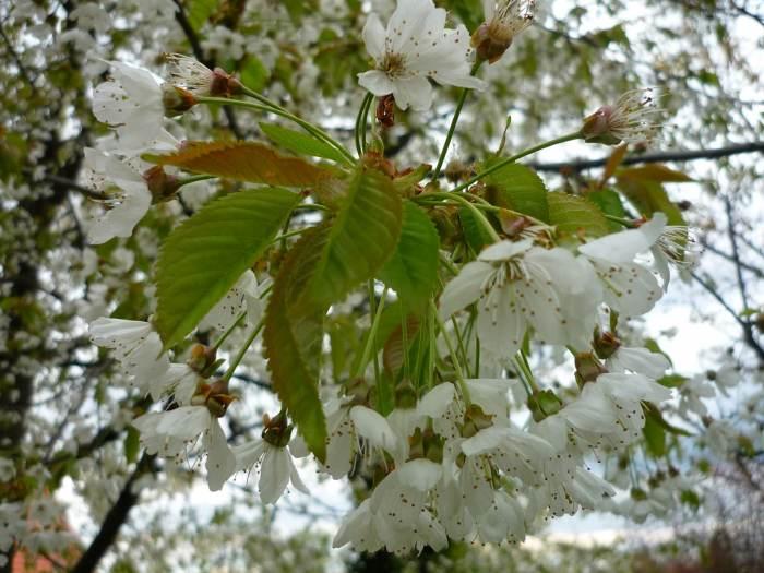 czereniakwiaty.jpg