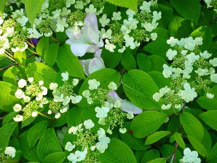 kalinajapkwiaty-3.jpg