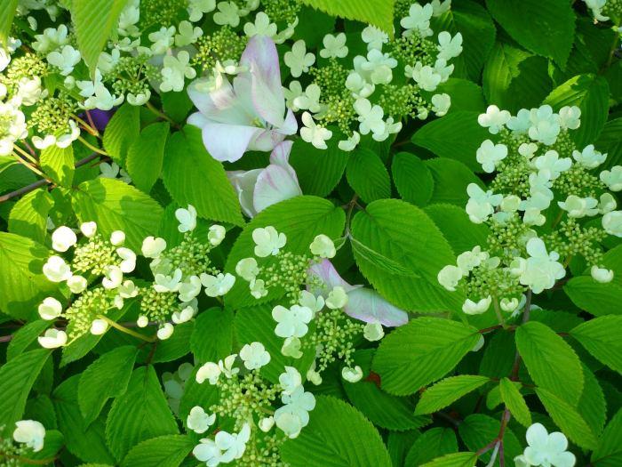 kalinajapkwiaty-5.jpg