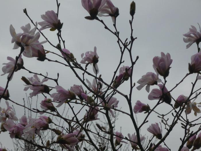 magnoliagwiadzista-3.jpg