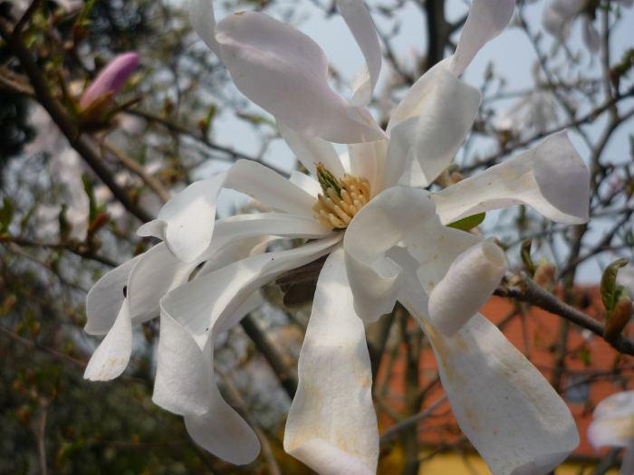 magnoliagwkwiaty.jpg