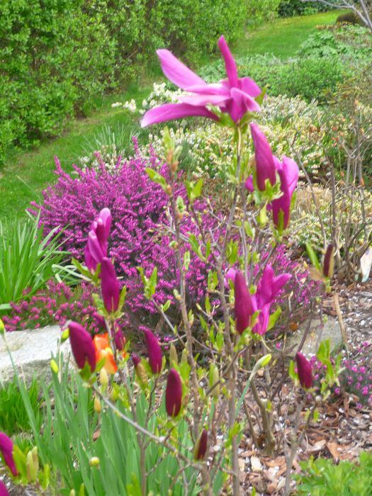 magnolianigra-4.jpg