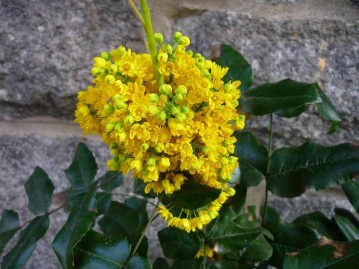 mahoniakwiaty.jpg