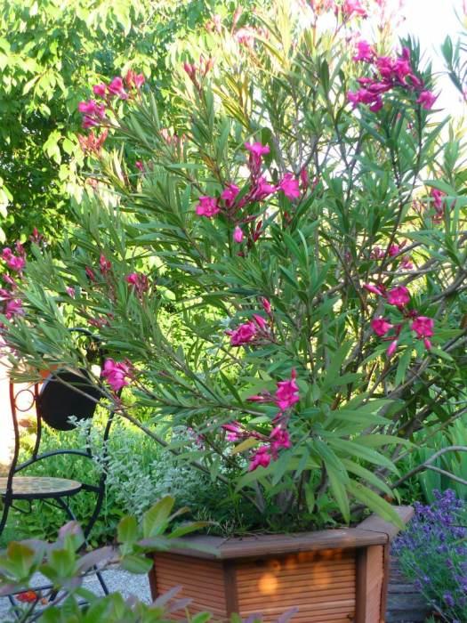 oleander-2.jpg