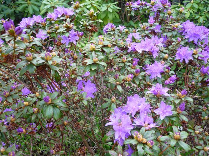 rhdrobnokwiatowyazurika.jpg