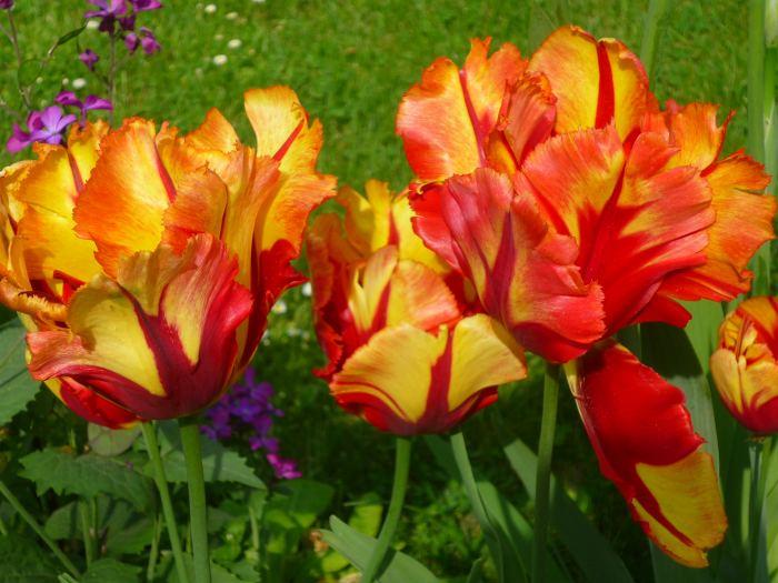tulipantexasflame.jpg
