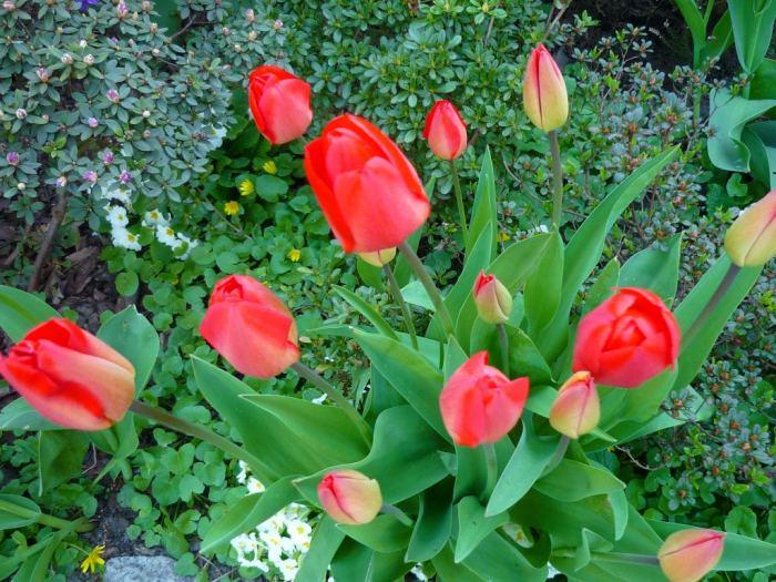 tulipanyczerwone-2.jpg