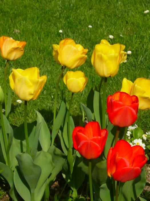 tulipanygrupa.jpg