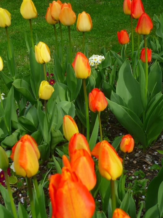 tulipanypom.jpg