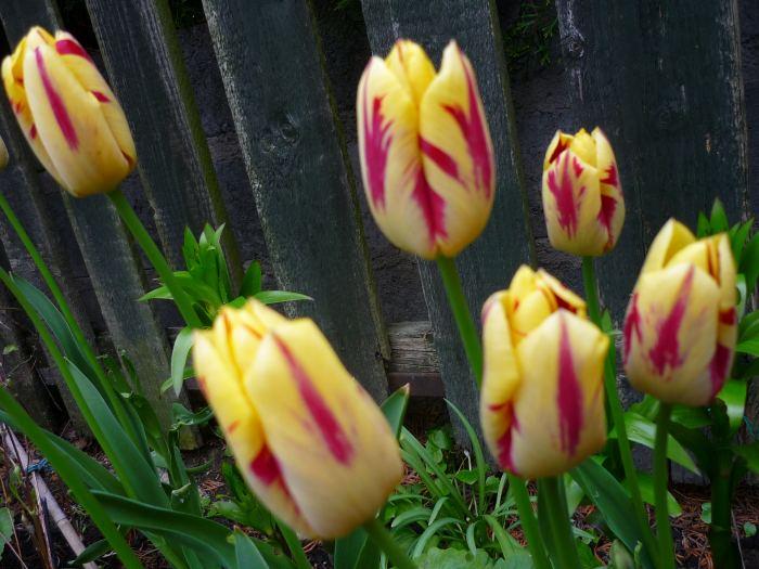 tulipanyprzyplocie.jpg