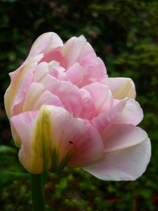 tulirpeny.jpg