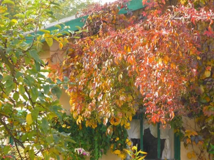 winobluszczpiciol.jesieni.JPG