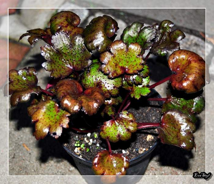 SaxifragacartusifoliaBlackRuby.jpg
