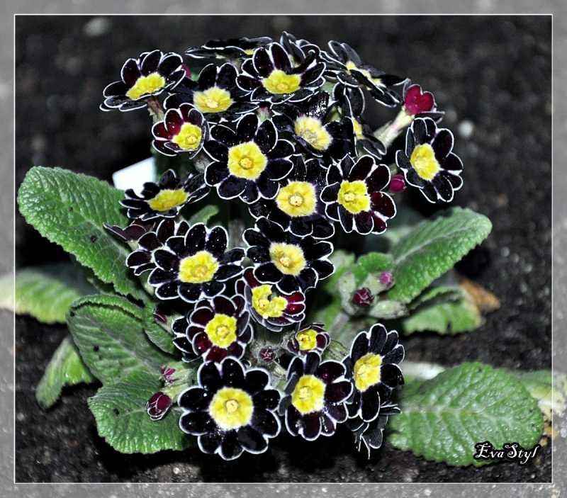polyanthusGoldBlackLace.jpg