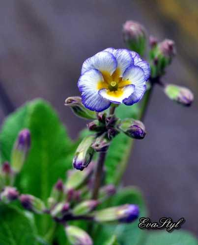 polyanthusParis90.JPG