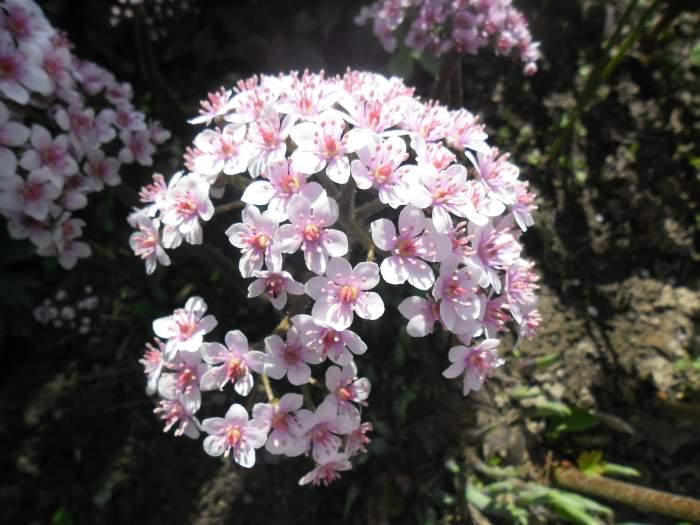 TarczownicatarczowataPeltiphyllumpeltatum3.jpg