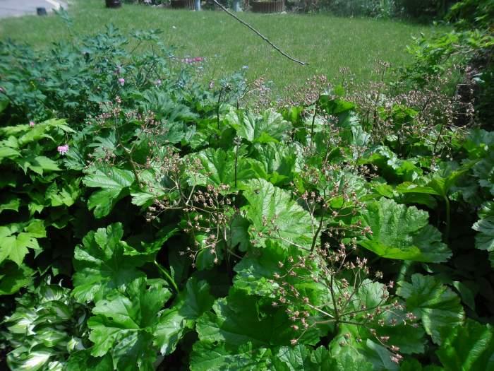 TarczownicatarczowataPeltiphyllumpeltatum9.jpg
