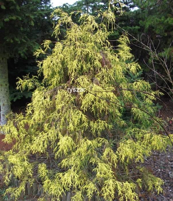 ChamaecyparispisiferaFiliferaAurea2.jpg