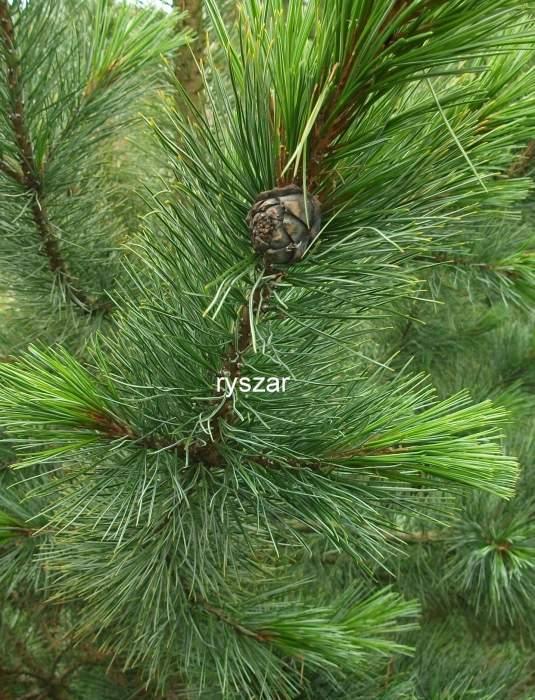 PinuscembraGlaucaszyszka.jpg