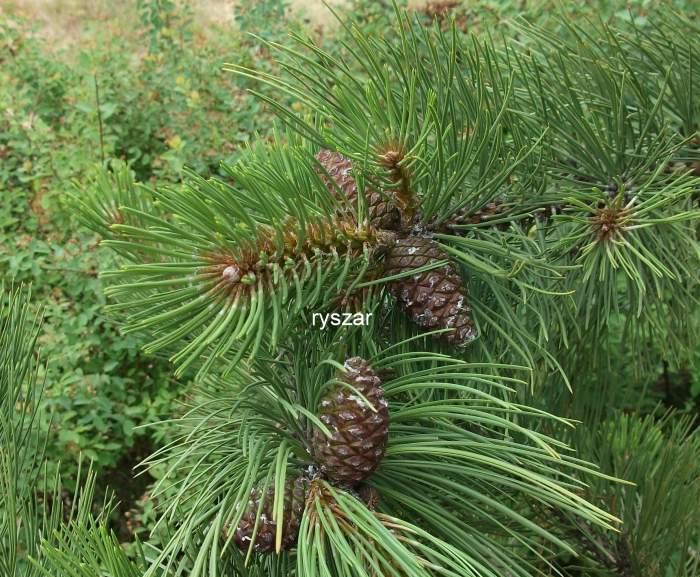 Pinusponderosavar.scopulorum_szyszki.jpg
