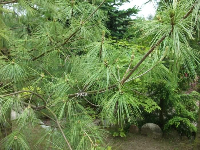 Pinuswallichiana.jpg