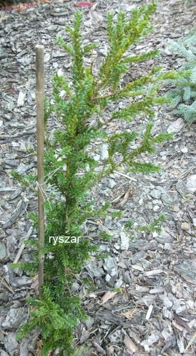 TaxusbaccataAdpressa2.jpg