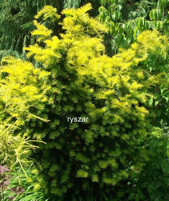 TaxusbaccataWashingtonii.jpg