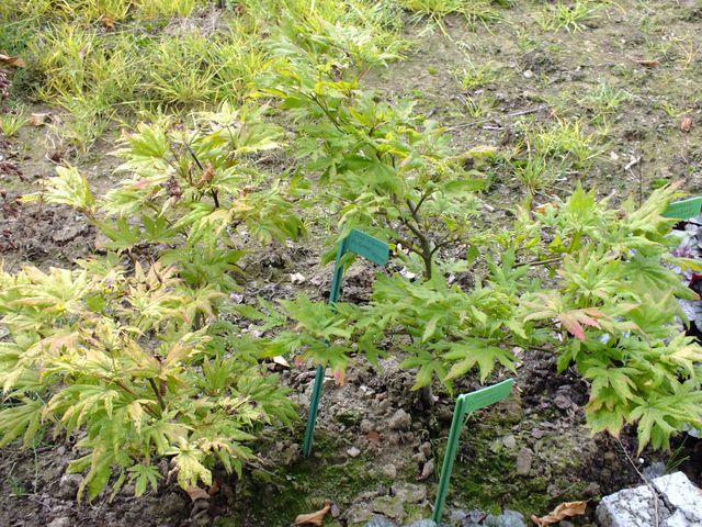 Acershiras.AutumnMoon.jpg