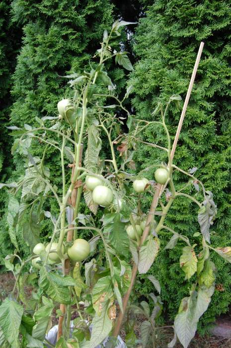 pomidory005.jpg