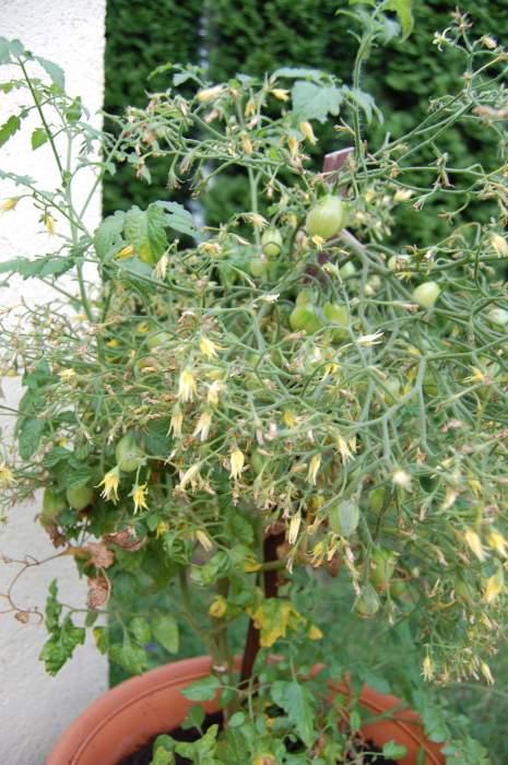 pomidory011.jpg