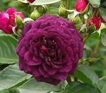 purpleeden.jpg