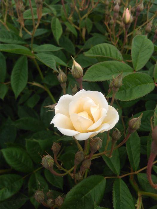 rose7.jpg