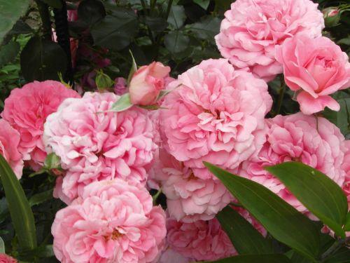 rosariumuetersen1.jpg