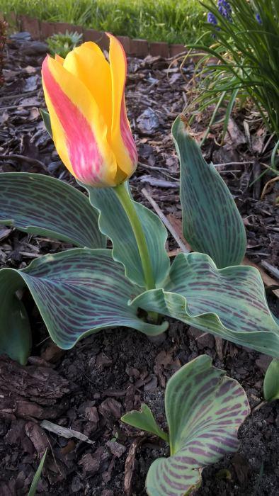 tulipanbotaniczny3.jpg