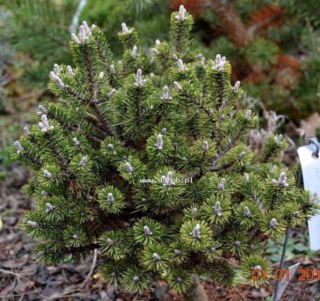 Minutifolia.jpg