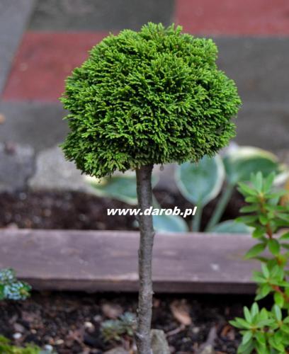 juniperoides.JPG