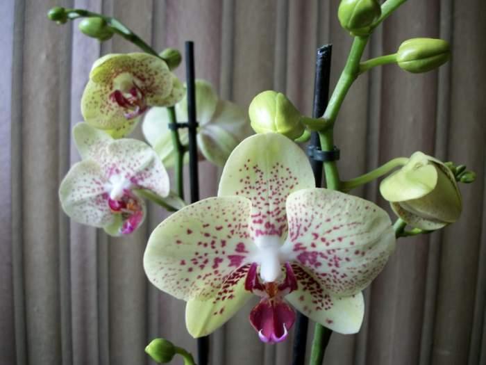 orchideaconcorde1.JPG