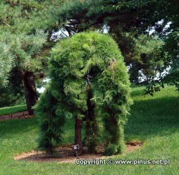 pinus_densiflora_pendula_a.jpg