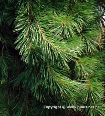 pinus_densiflora_pendula_a1.jpg