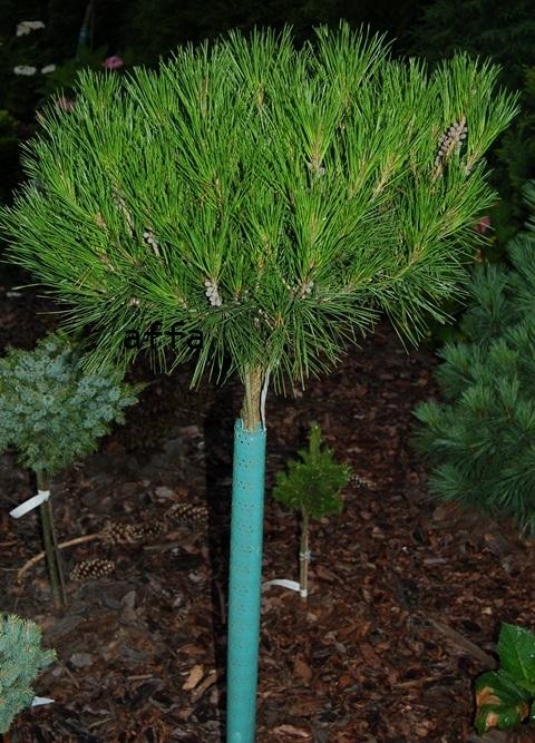 PinusdensifloraAliceVerkade.JPG