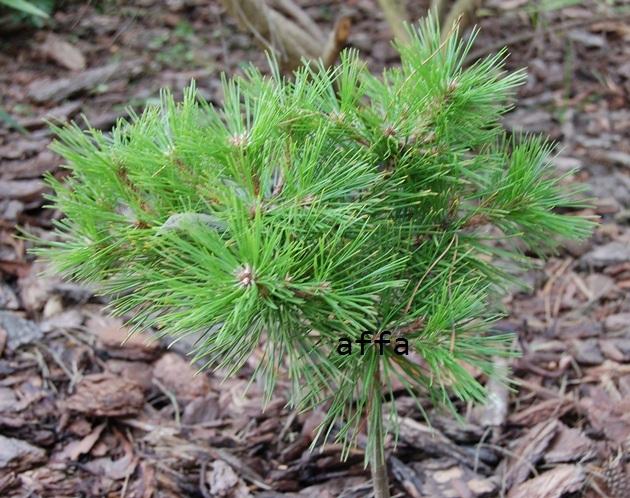 pinusdensifloraLovGlov.JPG