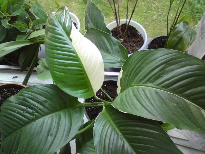 Spath.variegat1.jpg