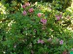 aaliakaempferaazalearhododendron.jpg