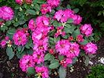 germaniarhododendron.jpg