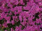rhododendronazaleaOslava.jpg