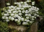 azaliaalbiflorumazalearhododendron.jpg
