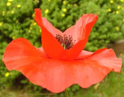 mak_tulipanowy.JPG