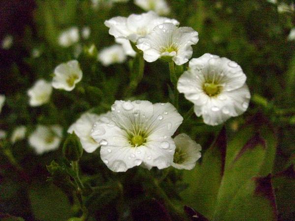 piaskowiec_kwiat.JPG