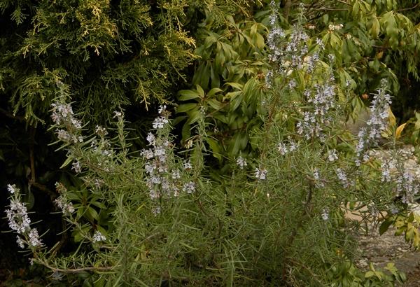 rozmaryn-crop.jpg